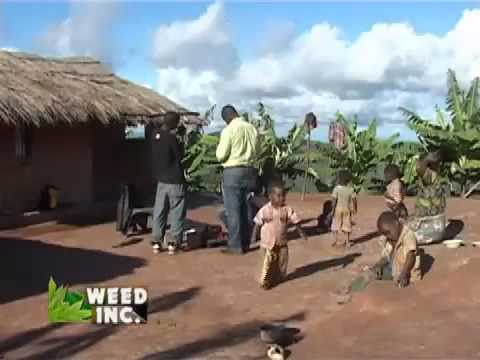 Marijuana Farms in Africa Negros traficking